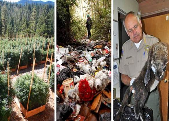 Photos, from left: A marijuana grow site discovered on public lands; Trash from marijuana cultivation pollutes land and water; Sheriff Mike Downey with a Pacific fisher that died from rodenticide. © Department of Fish and Wildlife and Humboldt Sheriff's Department.